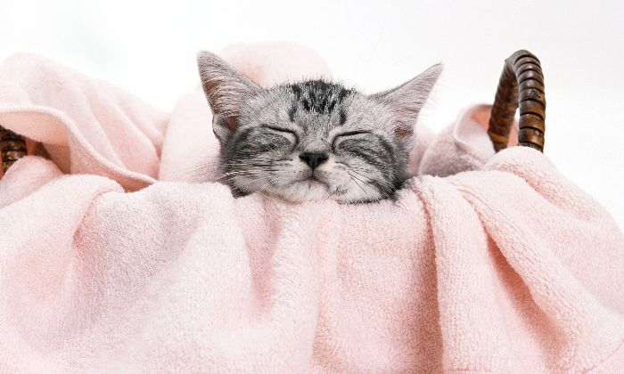 Chat-endormi-couverture-rose