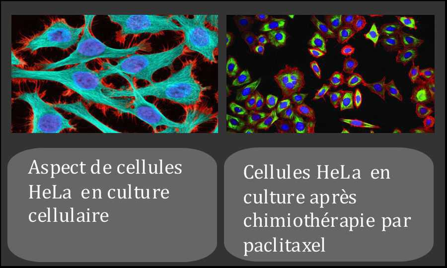cellules HeLa culture chimiotherapie