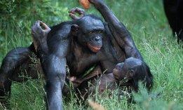 sexe-babouin-violence-couple