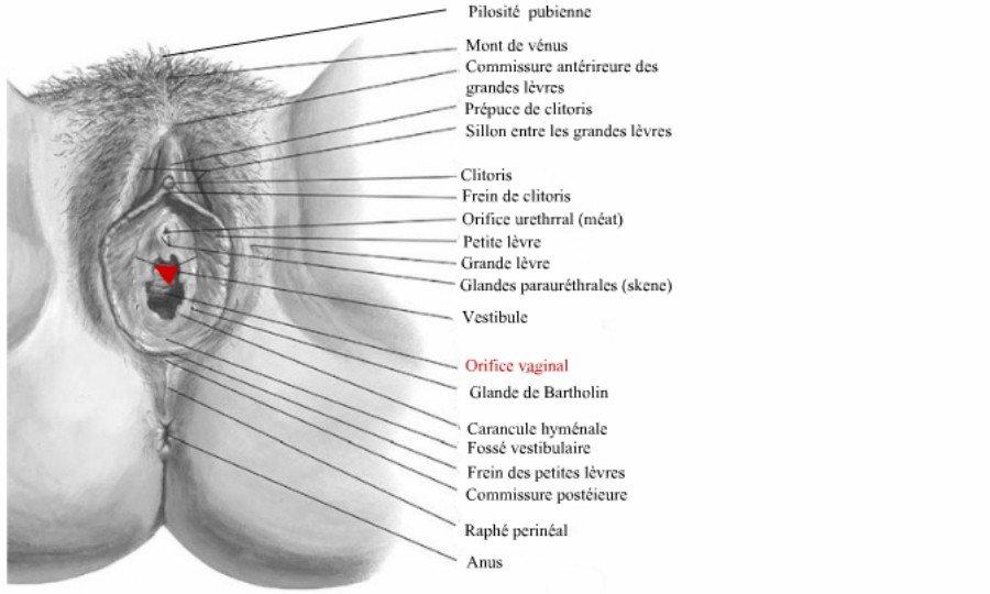 Orifice Vaginal Ou De Lintroitus-8831